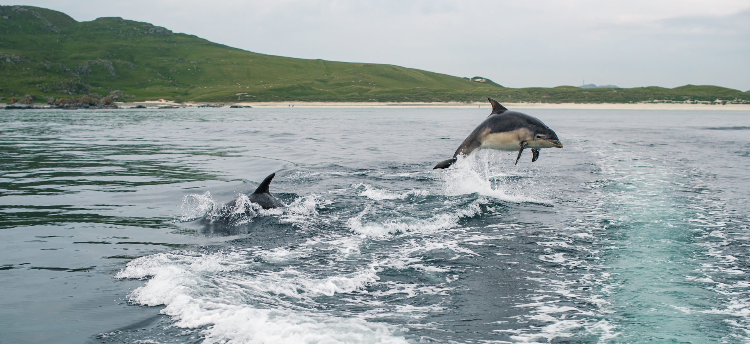 Dolphin jumping out of the water on the Isle of Tiree