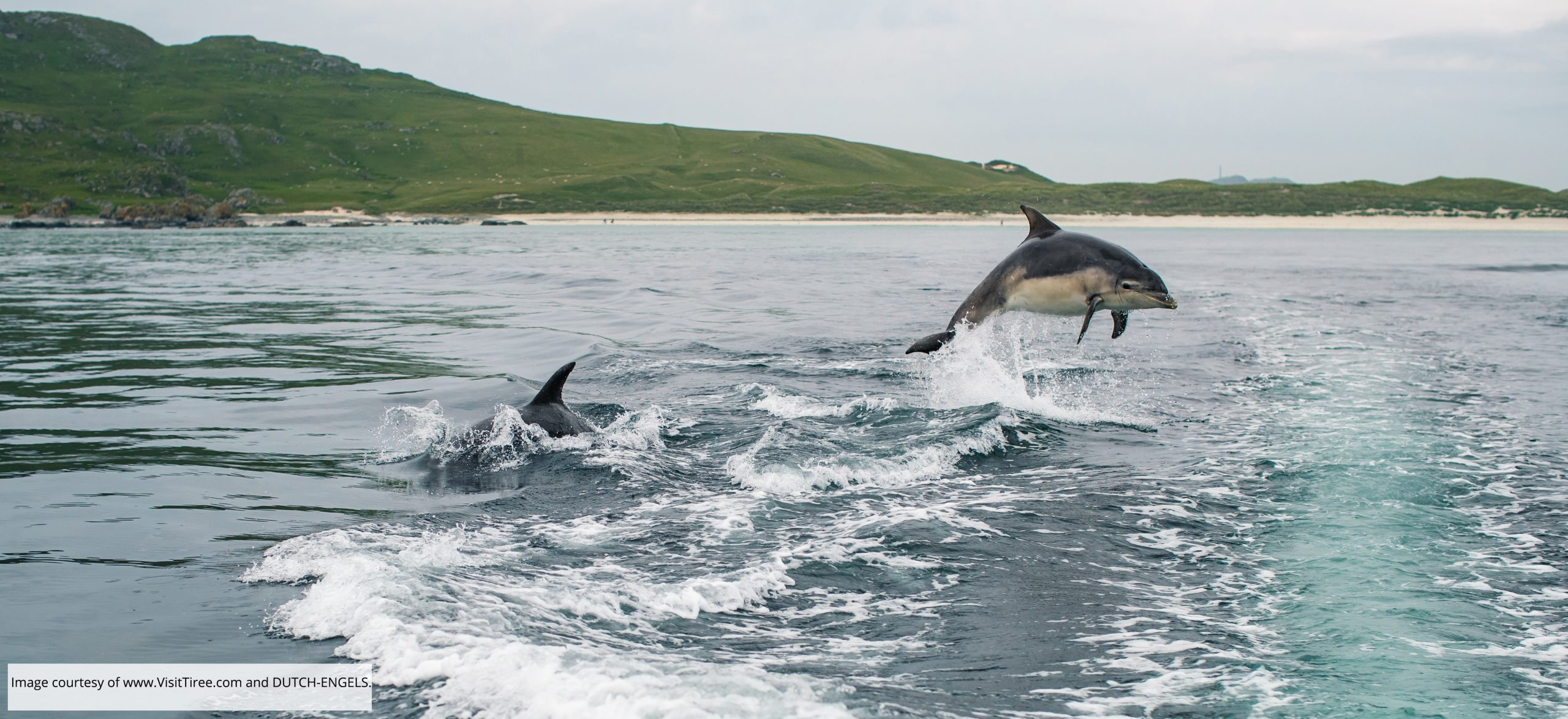 Dolphins on the Isle of Tiree